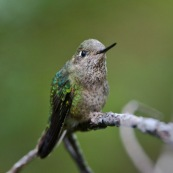 Colibri patagonien