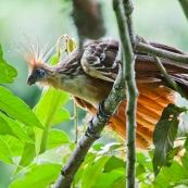 Opisthocomus hoazin. Hoatzin. Famille : Opisthocomidae. Enigme scientifique, cet oiseau n'est proche d'aucune autre espèce. Oiseau fossile du bassin amazonien.