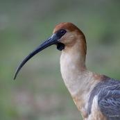 Theristicus  melanopsis. Famille : Threskiornithidae. Oiseau Bandurria austral (australe) vue de profil.