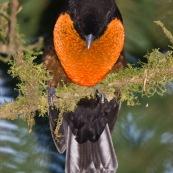 Pyroderus scutatus. Oiseau à la gorge rouge et au son très grave.