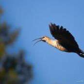 Theristicus  melanopsis. Famille : Threskiornithidae. Oiseau Bandurria austral (australe)  en vol en train de chanter, de profil, fond bleu.