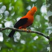 Rupicola peruviana. Coq de roche a la couleur orange éclatante.  Male.