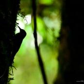 Silhouette d'oiseau (pic)