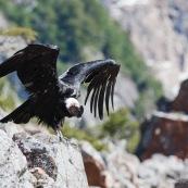 Condor ailes déployées