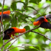 Rupicola peruviana. Deux coqs de roche a la couleur orange éclatante. Male.