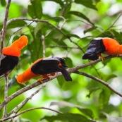 Rupicola peruviana. Coqs de roche a la couleur orange éclatante. Male.