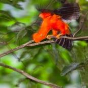 Coq de roche orange