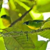 Tangara vert et or