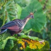 Opisthocomus hoazin. Hoatzin. Famille : Opisthocomidae. Guyane marais de kaw.