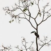 Toucan à Gorge Blanche