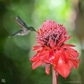 Campylopterus largipennis  : Colibri en vol sur rose de porcelaine (Etlingera elatior) : Nicolaia en bolivie (parc national Amboro.