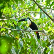 Toucan a gorge blanche