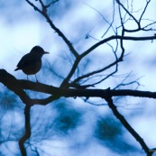 Oiseau en ombre chinoise