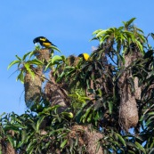 """Cacicus cela. Oiseaux jaunes et noirs, nichant dans les arbres. Les nids forment des sortes de """"massues"""" au bout des branches. Cacique cul jaune."""