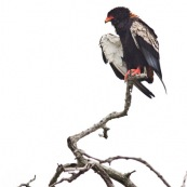 Bateleur des savanes - Terathopius ecaudatus