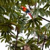Ara macao. Perroquet bleu et jaune. Bleu, jaune et rouge. Perché sur un arbre, de profil.