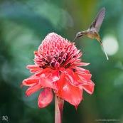 Phaethornis malaris : Colibri en vol sur rose de porcelaine (Etlingera elatior) : Nicolaia en bolivie (parc national Amboro.