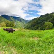 Panorama panoramique vache dans une prairie paturage en train de brouter en montagne. Campagne. Pour visite virtuelle 360°.