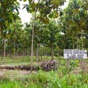 Plantation de Teck dans le parc national Maboro en Bolivie. Deforestation pour plantation d'arbres exotiques.