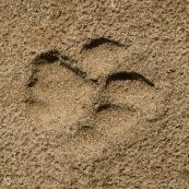 Trace de puma dans le sable
