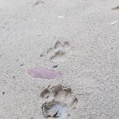 Traces de Puma dans le sable aux abords d'une rivière. Puma concolor. Bolivie. Parc national Amboro.