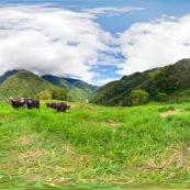 Panorama 360° pour visite virtuelle paturage avec vaches en montagne.
