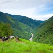 Troupeau de vaches en montagne
