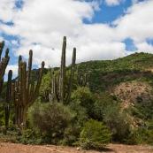 Cactus. Bolivie.