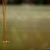 Racines aérienne arrivant dans la rivière dans l'eau.