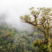 Arbre couvert d'epiphytes dans les Andes, a 2500 metres d'altitude. dans la brume. Pérou.