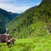 Vaches en montagne en train de brouter dans son paturage.