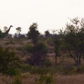Afrique du sud parc kruger. Girafe.