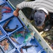 Scene de retour de peche en Chine, port de Sai Kung a Hong-Kong. Vente a la criee. Retour des bateaux. Vente des poissons. Matin brumeux. Peche traditionnelle. Poisson perroquet (Scaridae) pour restaurant.