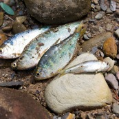 Poisson peche yayas appat sur le sable.