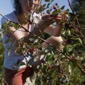 Femme cueillant des framboises en montagne lors d'une randonnÈe, framboisiers sauvages (Rubus idaeus). Cueillette de framboises.