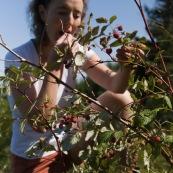 Femme cueillant des framboises en montagne lors d'une randonnÈe, framboisiers sauvages (Rubus idaeus). Cueillette de framboise.