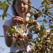 Femme cueillant des framboises en montagne lors d'une randonnÈe, framboisiers sauvages (Rubus idaeus). Cueillette de framboise. Vue en contre-plongÈe en train d'attraper une framboise, le long d'un sentier.