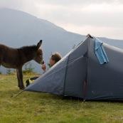 En montagne, un 'ne ('non) viens ‡ la rencontre d'une femme (randonneuse) venant de se lever et ouvrant la porte de sa tente. Bivouac prËs dun refuge, les montagnes en arriËre plan.