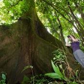 Femme en train d'observer aux jumelles au pied d'un arbre. En foret tropicale amazonienne. Arbre remarquable. Fromager. Ceiba. En Equateur.