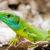 LÈzard vert Classe : Reptilia Ordre : Squamata EspËce : Lacerta (viridis) bilineata Gros plan de la tÍte, gorge bleu profond.