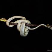 Oxybelis (Xenoxybelis) argenteus, Green-striped vine snake. Serpent non venimeux du bassin amazonien, de nuit sur fond noir. Serpent blanc et vert. Guyane. Chute Grégoire du coté du barrage de Petit Saut.