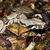 Boa constrictor constrictor. Gros plan sur la tête. Serpent sortant du sol au milieu de feuilles mortes.   Parc national Yasuni en Equateur. Camouflage.