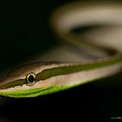 Oxybelis (Xenoxybelis) argenteus, Green-striped vine snake. Serpent non venimeux du bassin amazonien, de nuit sur fond noir. Serpent blanc et vert, de trois quart avant. Ondulation bien visible. Gros plan sur la tête. Parc national Yasuni en Equateur.