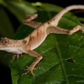 Anolis nitens. Lézard sur une feuille, vue de face. Vue de nuit, gorge rouge. Anelis se promenant sur une feuille.  Reptile d'amazonie. Parc national Yasuni en Equateur.