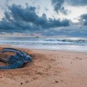 Tortue luth, Dermochelys coriacea. Guyane au lever du soleil, plage des salines à Rémire Montjoly. Mer en fond.