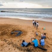 Tortue luth, Dermochelys coriacea. Guyane au lever du soleil, plage des salines à Rémire Montjoly. Mer en fond.  En train de pondre. Ponte. Trou dans le sable. SPectateurs.