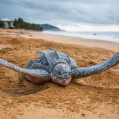 Tortue luth, Dermochelys coriacea. Guyane au lever du soleil, plage des salines à Rémire Montjoly. Mer en fond.  En train de pondre. Ponte. Trou dans le sable.