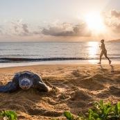 Tortue luth, Dermochelys coriacea. Guyane au lever du soleil, plage des salines à Rémire Montjoly. Mer en fond.  En train de pondre. Ponte. Trou dans le sable. Femme courrant sur la plage.