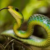 Chironius monticola. Serpent vert et jaune. Pérou.