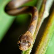 Leptodeira annulata annulata